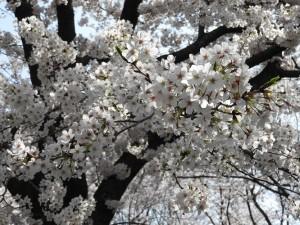 お花見 (4)